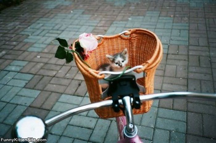 Bike Basket Of Kitten
