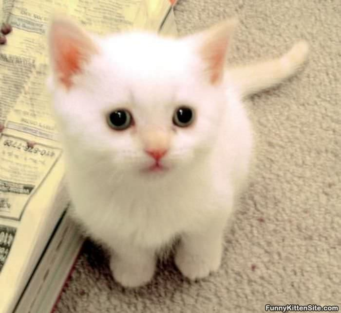 Cute_Little_White_Kitten