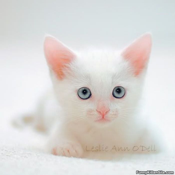 Cute White Kitten Face - funnykittensite.com