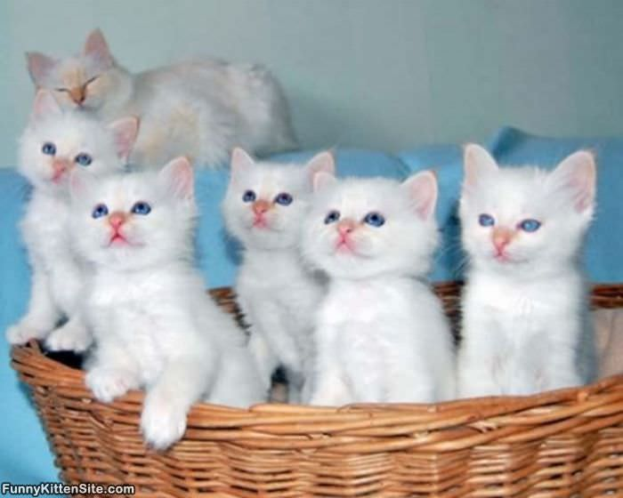 Really Cute White Baby Kittens | www.pixshark.com - Images ...